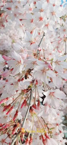 Our Weeping Cherry Blossoms Cherry Blossoms, Happy, Red, Happy Happy Happy, Cherry Blossom, Japanese Cherry Blossoms, Rouge