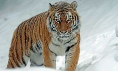 Tigers Live, Wildlife Conservation Society, Policy Change, Life Form, Siberian Tiger, Ask For Help, Nature Reserve, Rebounding, Animals Beautiful