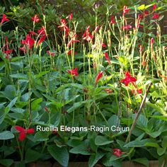 Ragin Cajun Ruellia Plant