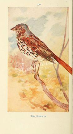 Fox Sparrow      ...