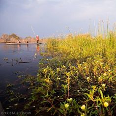 Photo by @KristaRossow. The golden hour in the #Okavango Delta is magic. The late afternoon light warms up the gorgeous flora while people on makoro canoes search for fauna....like hippos and elephants. #Botswana #Africa #safari Hotels-live.com via http