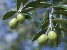 Uses for Olive Leaves and Health Benefits