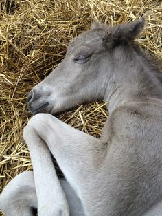 Colt sleeping at 1 day old