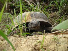 Gopher Tortoise, Lake Louisa State Park, Clermont, Florida Clermont Florida, Hiking Trails, Tortoise, State Parks, Turtle, Animals, Tortoise Turtle, Turtles, Turtles