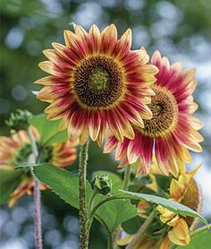 Sunflower, Candy Mountain Hybrid - Flowers and blooms on every leaf node of the 8-10' plants. -  Sunflowers at Burpee.com