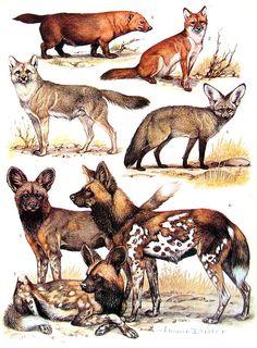 Animal Print - Bush Dog, Javan Red Dog, Bat Eared Fox, African Wild Dog - 1968 Vintage Print - Mammals from Encyclopedia