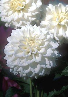 White Fawn Dahlia Old House Gardens Heirloom Bulbs