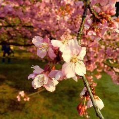 Spring is coming - 春が来る  Kawazuzakura in Yoyogi Park.  代々木公園で河津桜ですよ  #春ガ来ル!? #河津桜 #代々木公園デ #天気良イ #springiscoming #plumblossom #yoyogipark #niceweather (by shinpondering)
