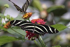 Zebra butterflies nectaring on flowers in butterfly garden designed by Brent Knoll of Knoll Landscape Design
