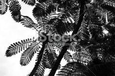Punga Tree Fern Canopy, New Zealand Royalty Free Stock Photo Abel Tasman National Park, Silver Fern, Tree Fern, Kiwiana, Native Plants, Image Now, Ferns, Canopy, New Zealand