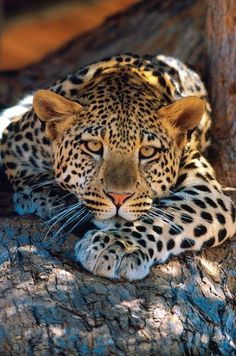 African leopard laying on the tree