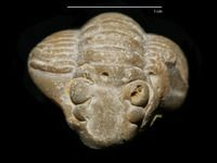 Complete coiled specimen of trilobite Calymene tuberculata (Brünnich). Collected from limestones of the Lower-Silurian Jaani Stage, Muhu Island, Estonia.