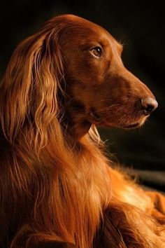 An Irish Setter glows from the warmth of a fire place