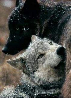 Beautiful Wolves, Beautiful Dogs, Animals Beautiful, Wolf Photos, Wolf Pictures, Animals And Pets, Cute Animals, Wolf World, Wolf Photography
