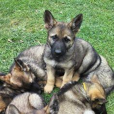 Przedstawiam oficjalnie: Corba SGA TEAM <3  #Corba  #GermanShepherd  #GSD  #OwczarekNiemiecki  #workingdog