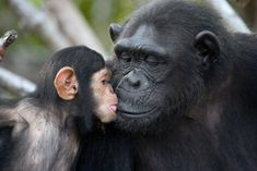 Cute Endangered Animals, Endangered Species, Jane Goodall, Sun Tzu, Wild Animals Pictures, Animal Pictures, Tanzania, Los Primates, Ugly Animals