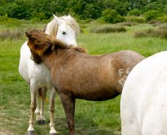 Camarguais Camargue Cheval Horse Pferd