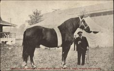 "Percheron/Arab cross ""Morocco"""