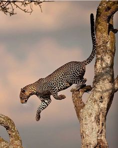 """wildlifepower: """" L-L-L-LEOPARDS TIME! The leopard /ˈlɛpərd/ (Panthera pardus) is one of the five """"big cats"""" in the genus Panthera. It is a member of the Felidae familywith a wide range in some parts. Nature Animals, Animals And Pets, Cute Animals, Wild Animals, Rainforest Animals, Wildlife Nature, Safari Animals, Beautiful Cats, Animals Beautiful"""