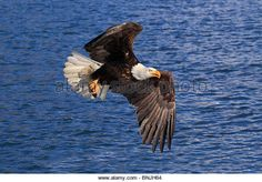 Find the perfect eagle springs stock photo. Flight Wings, Bird Wings, Eagles, Bald Eagle, Alaska, Feathers, America, Stock Photos, Fish