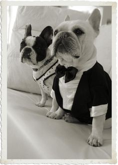Two French Bulldogs all dressed up.
