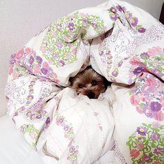 おはようございます☀🙋しまホイあるのにママの布団でしまホイ風アンちゃん🐶可愛い❤💓❤寒いね朝😘➰💋 #yorkshireterrier #yorkie #yorkshire #yorkelife #yorkieworld #yorkienation #yorkielovers #yorkiesofinstagram #terrier #doggy #cuteyorkie #dog #dogstagram #pet #yorkielove #instdog #わんこ #愛犬 #犬 #いぬ #ドッグ #ヨークシャーテリア #ヨーキー #ペット #赤ちゃん #赤ちゃんと犬 #baby #babyanddog #犬と子供 #生後8ヶ月