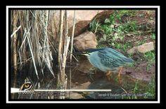 The Green-Backed Heron Heron, Conservation, Wildlife, Articles, African, Bird, Tv, Animals, Animais