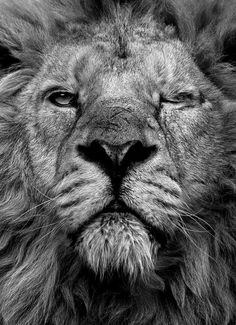 winking lion.