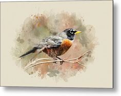 American Robin - Watercolor Art Metal Print by Christina Rollo.  All metal prints are professionally printed, packaged, and shipped within 3 - 4 business days and delivered ready-to-hang on your wall. Choose from multiple sizes and mounting options.