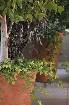 """Hera-de-folha-miúda (Hedera ssp). Longos e cobertos de folhas perenes, os ramos da hera são ideais, segundo o paisagista Roberto Riscala, para fazer o fechamento de vasos de plantas altas, como o fícus da foto. """"Esta composição sugere um ar italiano"""", diz. A forração prefere sombra. Regue-a três vezes por semana, se a planta estiver dentro de casa, ou diariamente, em ambiente externo"""