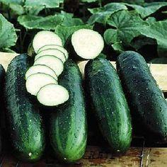 Bush Crop - Cucumber Seeds