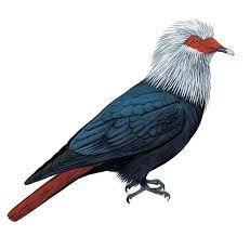 Mauritius blue pigeon ((Alectroenas nitidissimus)