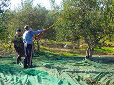 08-Olivenbaumen-kreta