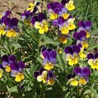 This wild violet is loved in gardens all over the world and once established, can spread rapidly. The iconic blooms are a cheerful purple and yellow with a white 'face,' resembling the pansy.