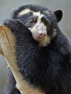 Alba, the Andean Bear at San Diego Zoo