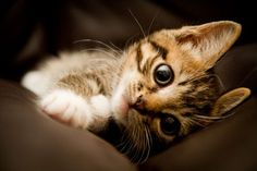 How can you say 'no' to a face like that?? Beautiful Cats, Animals Beautiful, Cute Animals, Fluffy Animals, Cute Cats And Kittens, Kittens Cutest, Funny Kittens, Crazy Cat Lady, Crazy Cats