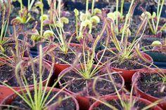 Carnivorous Plants.