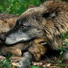 Gray wolf (Canis lupus)--mother with pup. Wolf Spirit, Spirit Animal, Mundo Animal, My Animal, Wolf Pictures, Animal Pictures, Beautiful Creatures, Animals Beautiful, Baby Animals