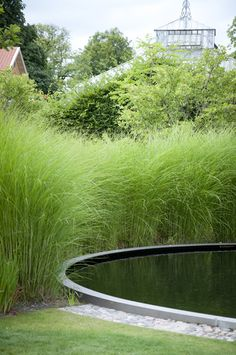 Landscape Focused: landscape, garden design, green Miscanthus sinensis 'Gracilimus'
