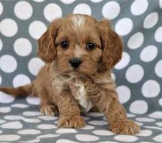 89 Best Cavapoo Puppies images in 2019 | Cavapoo puppies