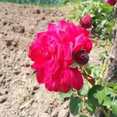 Dünyayı çiçekler yönetsin:) #Bursa#Köy#village#gül#papatya#flowers#çiçek#yeşil#doğa#huzur#green#sanat#Türkiye#Turkey#kurmızı#sarı#red#yellow#vsco#vscocam#vscogood#instagramturkey#insta_anadolu#photooftheday#gununkaresi#kadrajımdan#turkiyedenkadrajlar#comeseeturkey#TrtAvaz#TrtBelgesel http://turkrazzi.com/ipost/1524746559987582517/?code=BUo_Or4jwY1