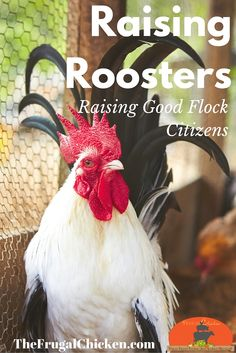 Raising a rockstar rooster is critical to your hen's health and your family's happiness. Here's questions to ask before getting a rooster and which behaviors you should and shouldn't accept.