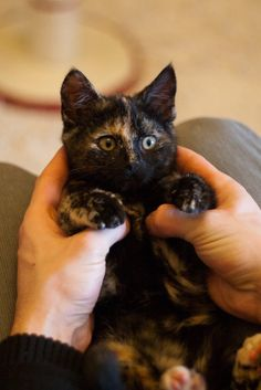 """** TORTIE: """" Me demands rigidly defined areas of doubt and uncertainty. Cute Cats And Kittens, I Love Cats, Crazy Cats, Kittens Cutest, Pretty Cats, Beautiful Cats, Pretty Kitty, Gato Calico, Calico Cats"""