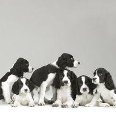 Springer Spaniel Puppies - by Sharon Montrose - Animals (cute & crazy) - Gatos Chien Springer, Springer Spaniel Puppies, Spaniel Dog, Cute Puppies, Dogs And Puppies, Cute Dogs, Doggies, Corgi Puppies, English Springer Spaniel