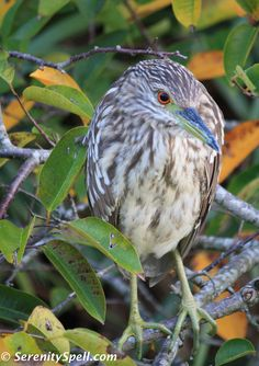 The medium-sized birds: Juvenile Black-crowned Night Heron in the Florida Wetlands / Everglades