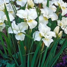 Loistokurjenmiekka Gull´s Wing White Iris, Moon Garden, Flower Beds, White Flowers, Different Colors, Natural Beauty, Parks, Butterflies, Wings