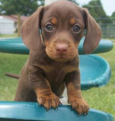 Dachshund puppy.  Look at those chubby paws!