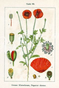 Common name: Klatsch-Mohn - Papaver rhoeas Butterfly Illustration, Garden Illustration, Botanical Illustration, Botanical Decor, Botanical Prints, Floral Printables, Butterfly Watercolor, Botanical Drawings, Flower Art