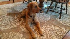 dining room rehab - neutral rug - American Rug Craftsmen rug - Reflections Dragonfly Medallion - Mohawk Home - Tucker the dog