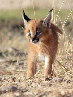 Join our wildlife and environmental conservation projects at frontier. Caracal Kittens, Cats And Kittens, Big Cats, Work With Animals, Animals And Pets, Wild Animals, Shark Conservation, Cute Baby Animals, Animal Photography